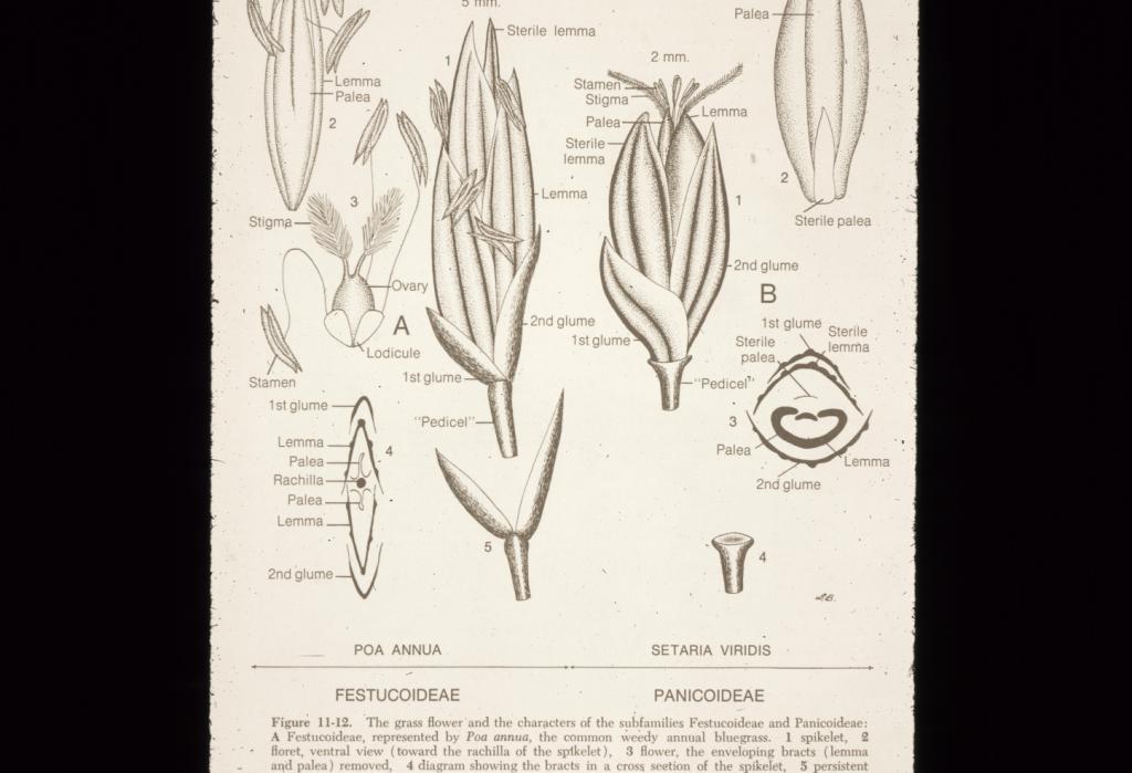 Grass Anatomy Flower 2